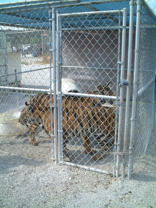 Tigers in a small cage.