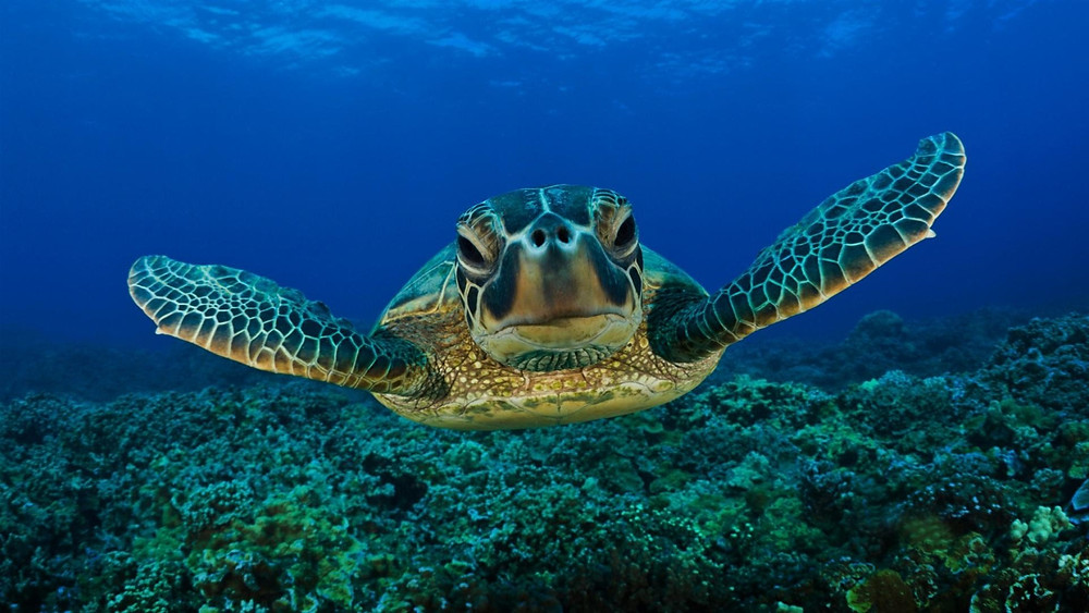 Giant sea turtle swims gracefully above the sea floor.