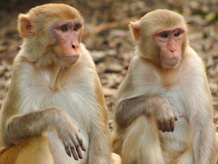 Herpes-carrying Macaques may be Removed from Silver Springs Park