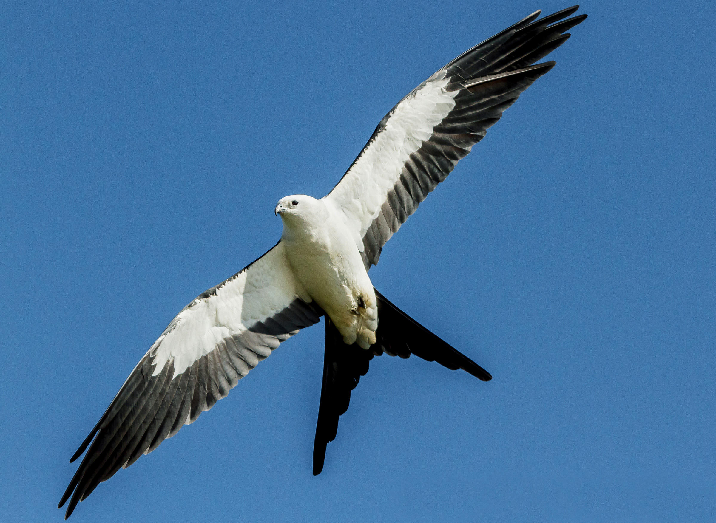 Swallow-tailed_Kite_AndyMorffew_FlickrCC_314