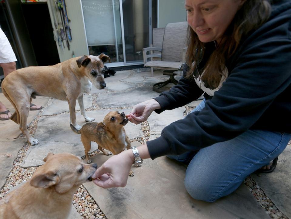 Veterinary Technician gives cannabis treats to three dogs.  Jane Tyska/Bay Area News Group