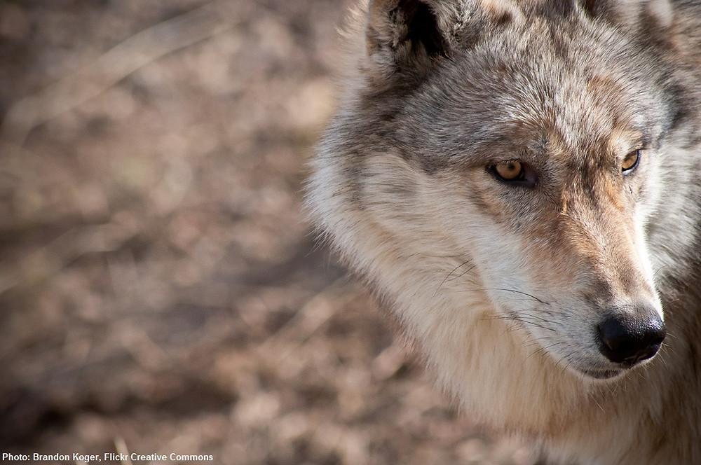 Alaskan Wolf.  Photo by Brandon Koger.
