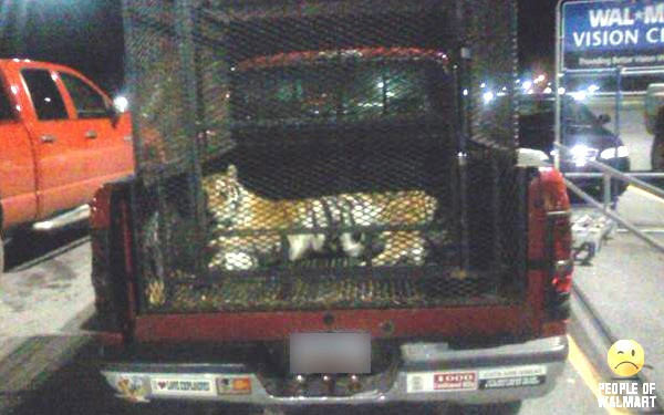 Tiger in the back of a truck in a Walmart parking lot.