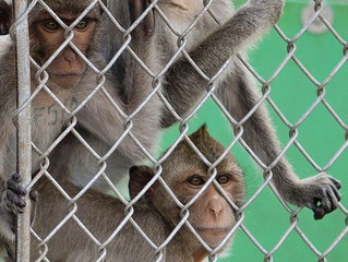 Second District Court of Appeal Affirms Hendry County Monkey Farm Ruling