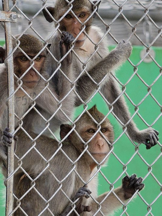 Three monkeys behind fence.  Photo: Andrew West/The News-Press