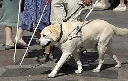 Service dog walking with handler