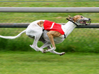 CRC Approves Greyhound Racing Phase-out for November 2018 Statewide Ballot