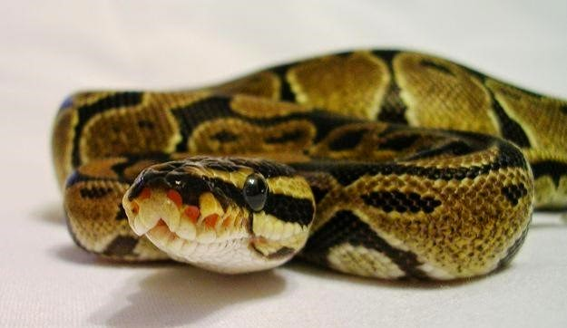 100 Ball Pythons Found Dead in Dealer's Home | Florida