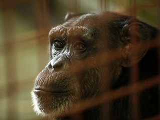 NIH Ends Era of US Medical Research on Chimpanzees