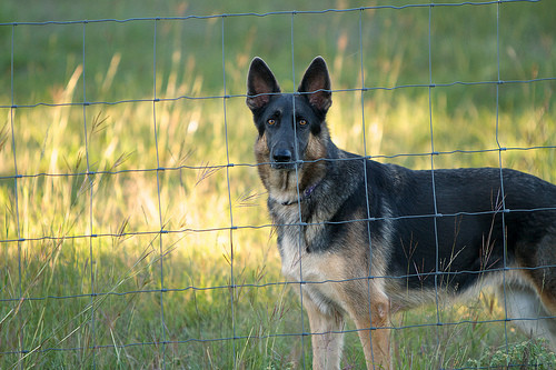 Guard Dog Stands behind Fence