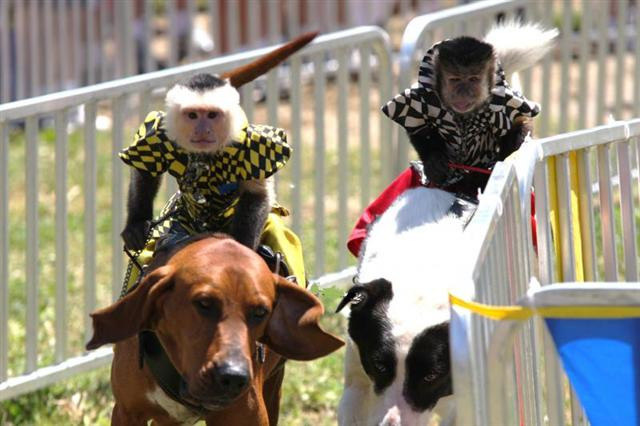 Two costumed Capuchin monkeys ride atop two saddled dogs