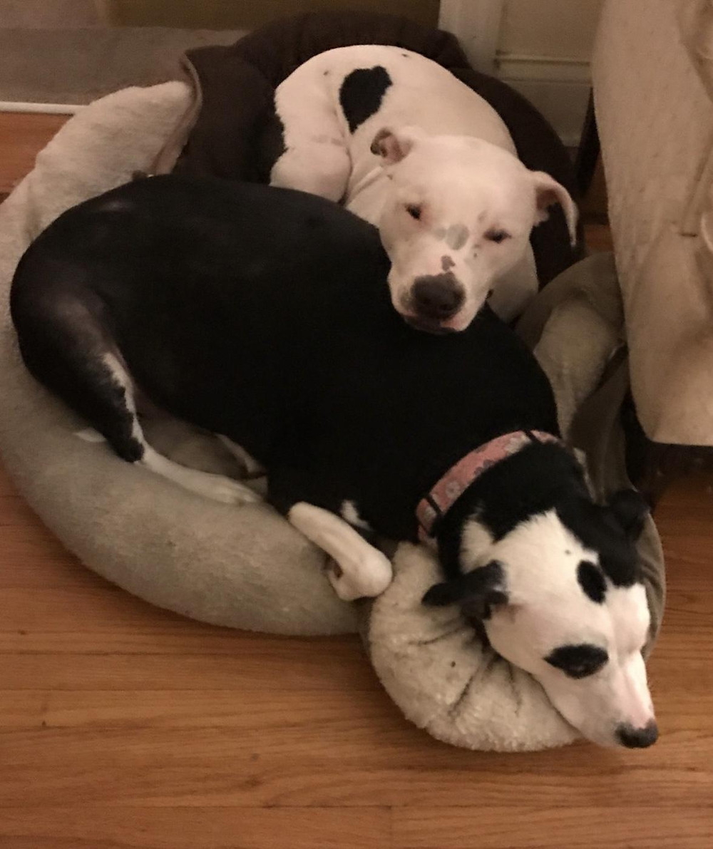 Iris and Abby.  Two dogs sharing one dog bed