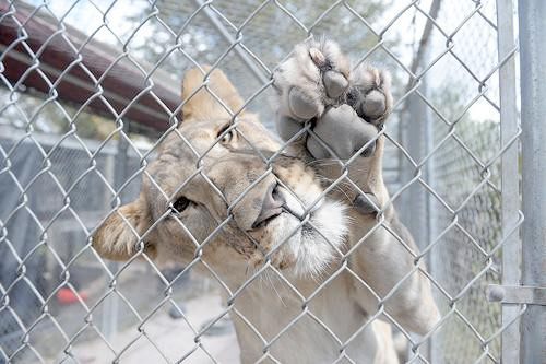 Lion in a cage in Miami.