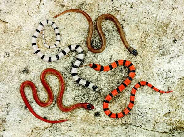 Ground Snake Morphs