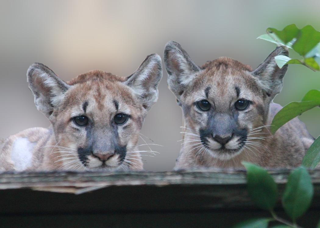 Florida Panther Kittens at White Oak
