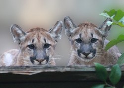 Florida Panther Kittens at White Oak