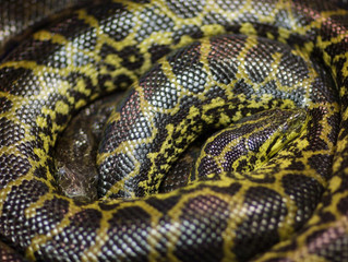 More Pythons Coming to your Terrarium?: Appeals Court Overturns Rule Barring Interstate Commerce of