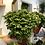"""Thumbnail: Frosty Fern - 4"""" Pot"""