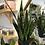 """Thumbnail: Snake Plant (Black Laurel) - 4"""" Pot"""