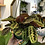 "Thumbnail: Prayer Plant - 6"" Hanging Poy"