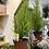 """Thumbnail: Lemon Balm Cypress - 4"""" Pot"""