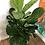 "Thumbnail: Fiddleleaf Fig - 10"" Pot"