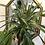 """Thumbnail: Pineapple Plant - 6"""" Pot"""