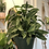 "Thumbnail: Monstera adansonii - 10"" Hanging Pot"