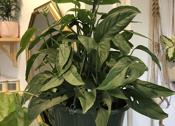 "Monstera adansonii - 10"" Hanging Pot"