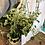 "Thumbnail: Pepperomia Scandens - 8"" Hanging Pot"