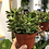 "Thumbnail: Baby Jade - 4"" Pot"