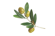 Watercolor olives collection_branch-07.p
