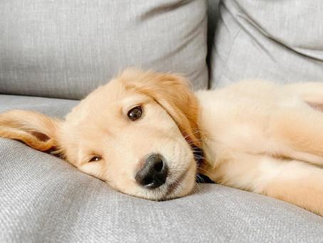 10 adorable Vancouver Golden Retriever accounts you should follow today