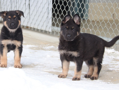 You can help RCMP name new litter of adorable police puppies