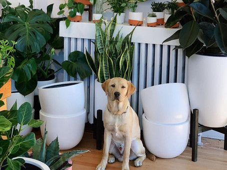 Are your stylish houseplants dog-friendly? Here's what to avoid when plant shopping with pets
