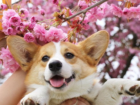 10 spots in Vancouver for a perfect cherry blossom pup picture