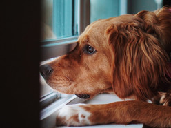 As many return to offices, here's how to help your dog adjust to post-pandemic life