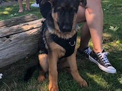 German Shepherd puppy saved from drowning in Fraser River by police and boaters