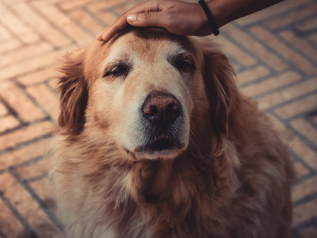 6 reasons why adopting a senior dog is an amazing choice