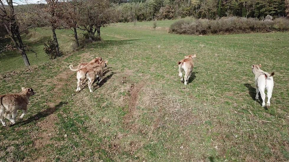 Aerial Video of a herd of calves running