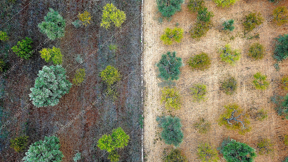 Aerial Photo of an Mediterranean's olive tree plantation