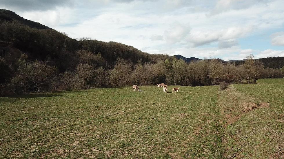 PRAerial video of a herd of cows standing