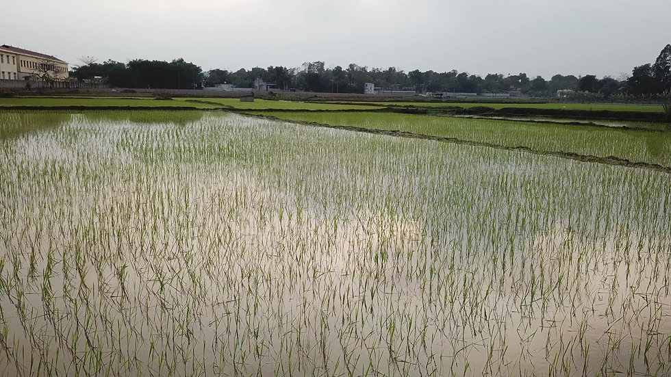 PRAerial video of a rice field from close.