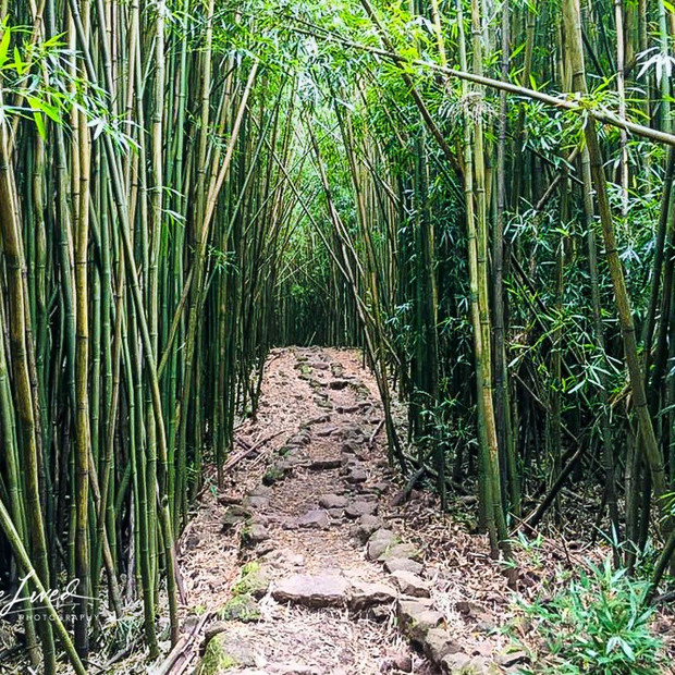 Bambo Forest Maui