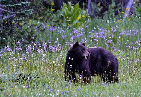 Bear Yosemite.jpg