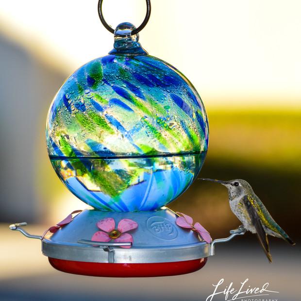 Hummingbird California