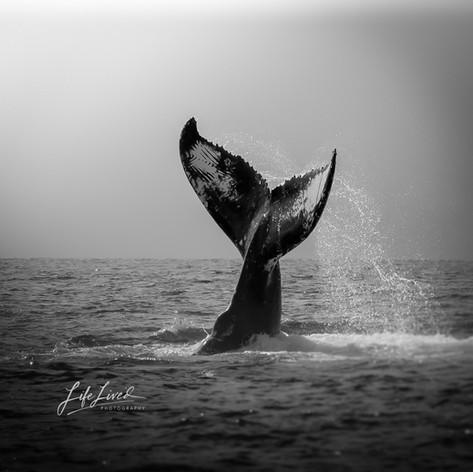 Maui Whale Season