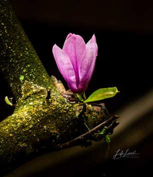 Magnolia hanging on