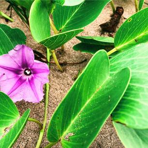 Maui Beach Flowers