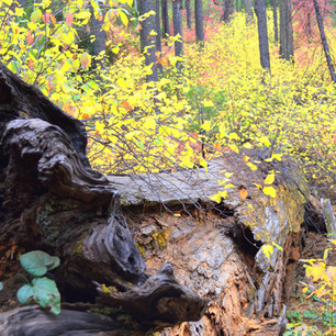 Stanislaus Forest